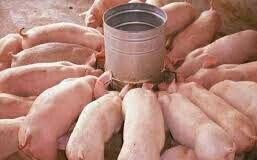 猪猪吃饭啦