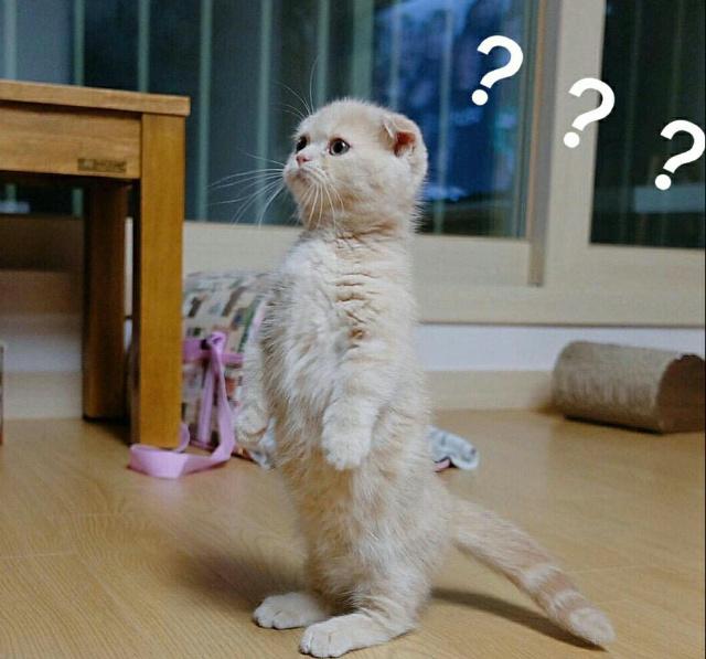 小猫站立疑问表情